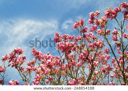 pink magnolia trees over blue sky in the spring,  copyspace background  - stock photo