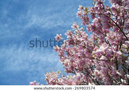 pink magnolia trees over blue sky, spring  copyspace background - stock photo