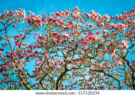 Pink magnolias in bloom - stock photo