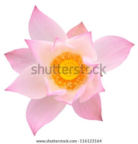 Pink majestic lotus isolated on white background - stock photo