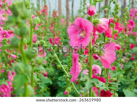 Pink mallow in the garden, closeup - stock photo