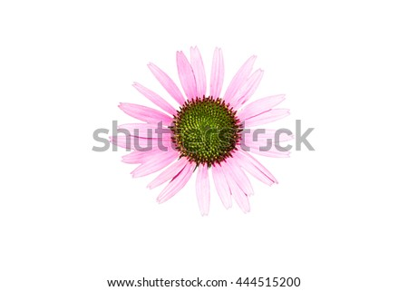 Pink Marguerite isolated on white background, top view - stock photo