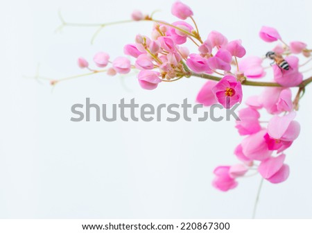 Pink mexican creeper on white - stock photo