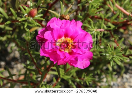 """Pink """"Mexican Rose"""" (or Rock Rose, Sun Rose, Moss Rose, Moss-Rose Purslane, Eleven Oclock) in Innsbruck, Austria. Its scientific name is Portulaca Grandiflora, native to south America and Europe. - stock photo"""