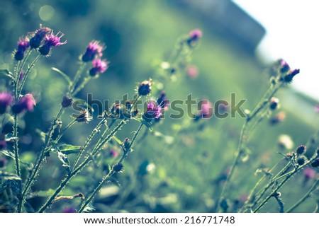 pink milk thistle flower in bloom in spring  - stock photo