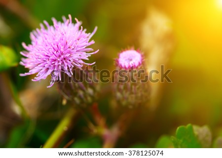 pink milk thistle flower in bloom in summer morning. Shallow depth of field. - stock photo