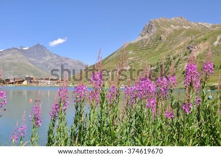 pink mountain flowers at Lake Tignes - Alps - stock photo