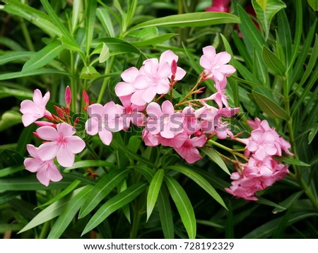 Pink nerium oleander flower leaves stock photo royalty free pink nerium oleander flower and leaves mightylinksfo