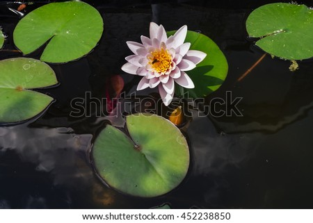 Pink nymphaea flower with sky reflection on the pond surface - stock photo