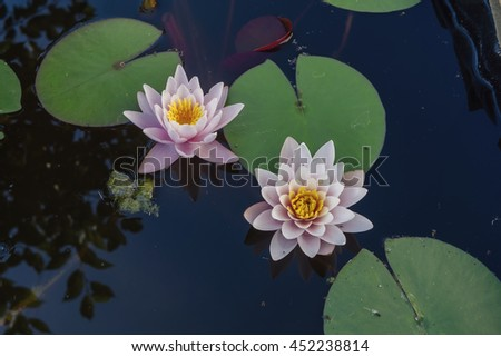 Pink nymphaea flowers with sky reflection on the pond surface - stock photo