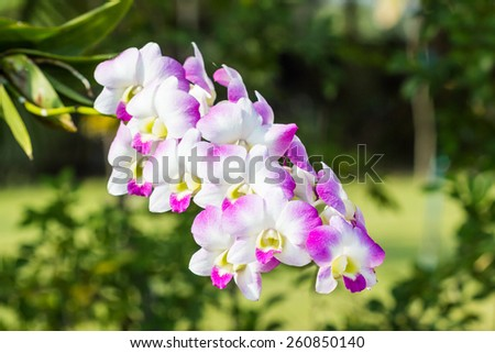 Pink of orchid flower in bloom in spring, Dendrobium. - stock photo