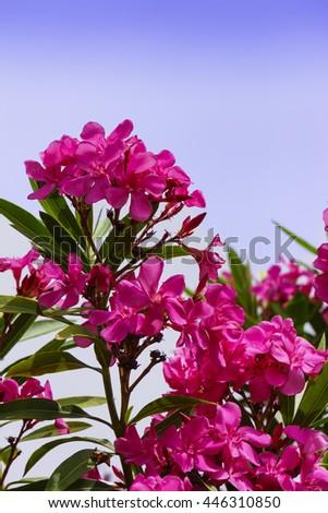 Pink oleander flowers. - stock photo
