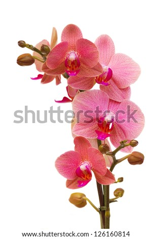 pink orchid branch isolated on white background