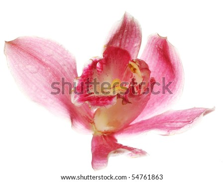 pink Orchid closeup. on white background. - stock photo