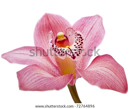 pink Orchid flower close up isolated on white background - stock photo