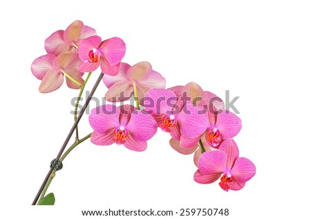 Pink orchid flower, isolated on white background - stock photo