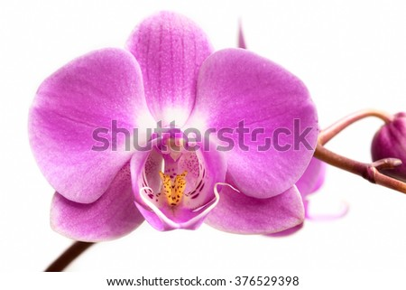 Pink orchid flower on a white background.  Orchid flower isolated. - stock photo
