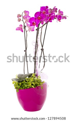 Pink orchid flower (phalaenopsis) in a pot isolated on white background - stock photo