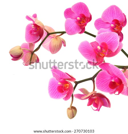 Pink orchid flowers with buds, white isolated