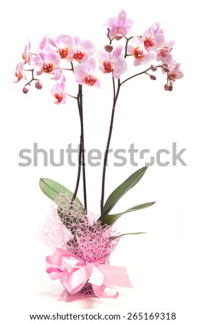 Pink orchid in a  flowerpot on white background. - stock photo