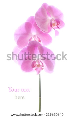 Pink orchid in pastel colors isolated on white - stock photo
