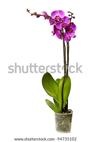 Pink orchid isolated on a white background. - stock photo