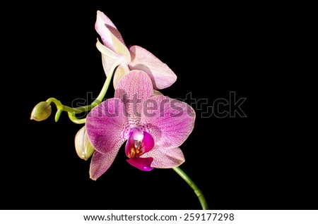 Pink orchid isolated on  black - stock photo