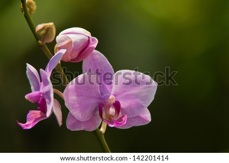 Pink orchid isolated on green