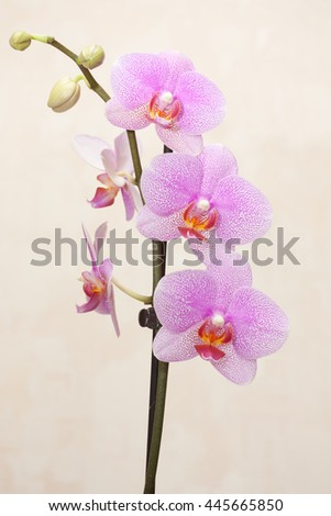 Pink Orchid on a beige background - stock photo