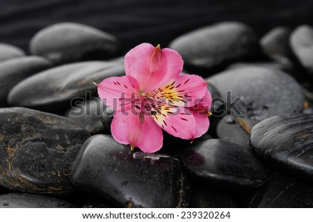 pink orchid on black stones - stock photo