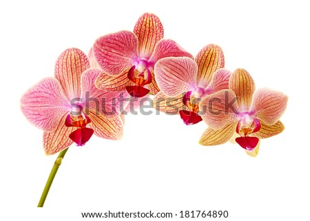 Pink orchid on white background - stock photo
