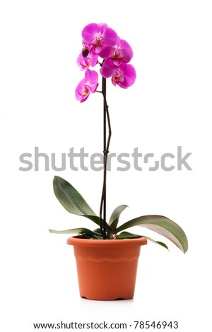 Pink orchid (Phalaenopsis) in a flowerpot, isolated, white background - stock photo