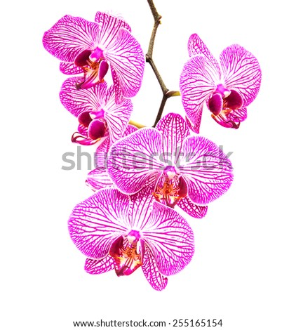 Pink orchids flower on a white background - stock photo
