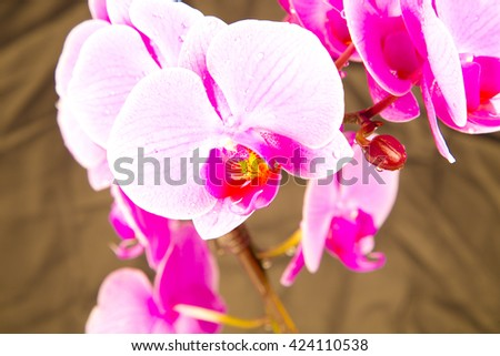 pink orchids, orchids on grey , orchid on black , orchids in studio , fresh flowers ,spring flowers ,drops on flowers , pink ,amazing natural flowers , violet , blossom , beauty ,plant ,stem ,garden - stock photo