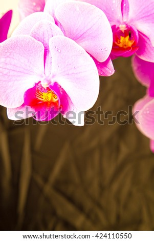 pink orchids, orchids on grey ,orchid on black ,orchids in studio,fresh flowers,spring flowers,drops on flowers ,pink,amazing natural flowers,violet ,blossom,beauty ,plant ,stem,garden,natural flowers - stock photo