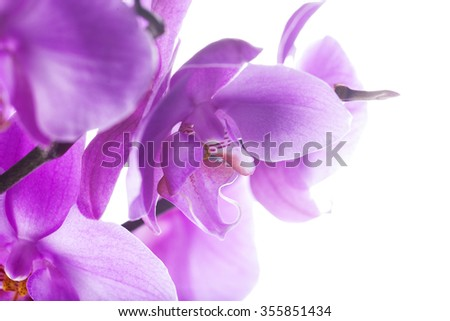 Pink orchids over white background, horizontal image - stock photo