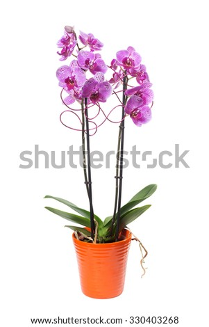 pink orchids phalaenopsis in flowerpot and decoration
