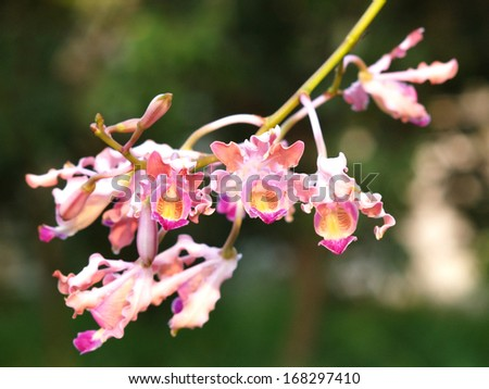 pink orcid - stock photo