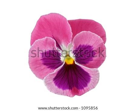 Pink Pansy flower head (Viola x wittrockiana) - stock photo