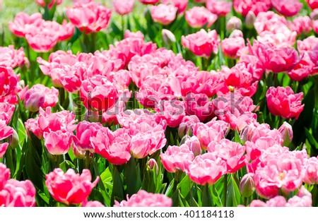 Pink parrot tulips on green summer field. - stock photo
