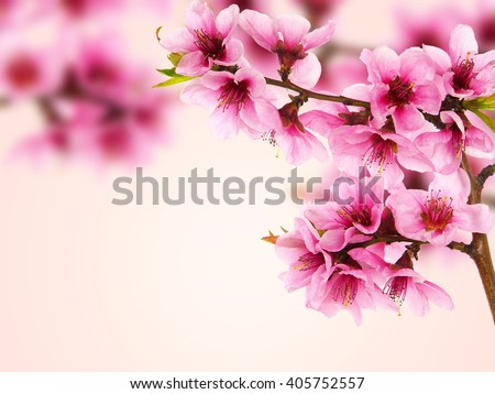 Peach Blossoms Stock Images Royalty Free Vectors
