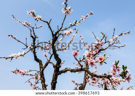 Pink peach blossoms blooming in the Spring Garden