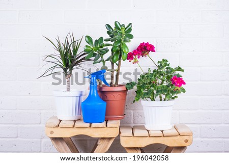 pink pelargonium, crassula, dracaena in pots and blue sprayer standing on wooden chair against white brick wall - stock photo