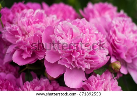 peony stock images, royalty-free images & vectors | shutterstock
