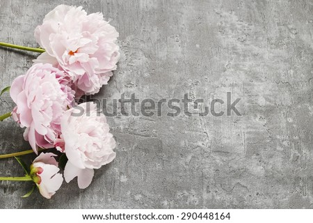 Pink peonies isolated on grey background, copy space - stock photo