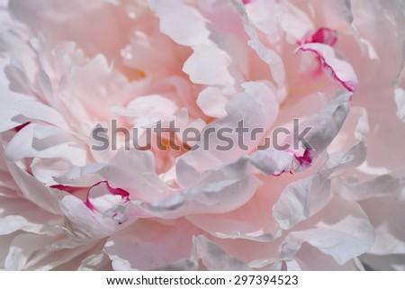 Pink Peony Close Up