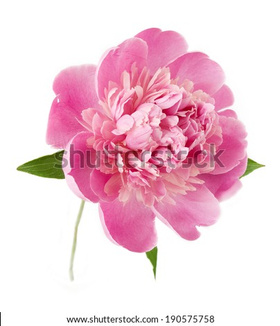 Pink peony closeup isolated on white background - stock photo