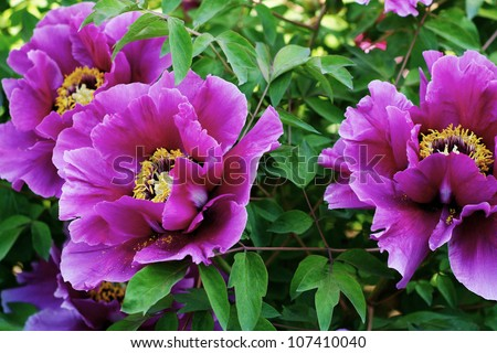 pink peony flower - stock photo
