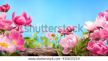 Pink peony flower against blue sky - stock photo