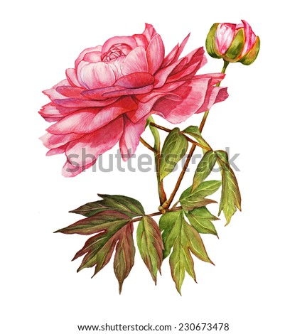 Pink peony flower botanical watercolor  - stock photo